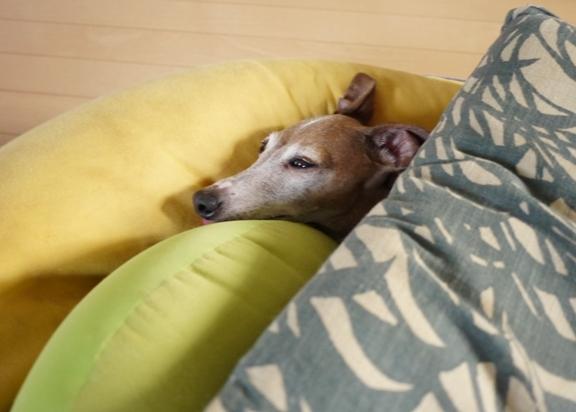 ディオは寒いとき、無言で見つめて訴えてくるけど、トトほどしつこくなくて すぐに諦めて窓辺のベッドで丸くなります。