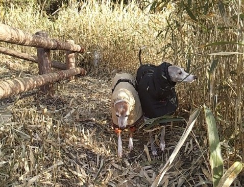 チワワのシャコはヘルニア持ちなので、山歩きの時は来たり 来なかったり。