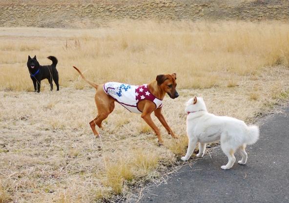 白ちゃんがシャロリーを苦手なのは、たぶん最初にすごい勢いで向かって行って、追いかけまわしたせい・・。