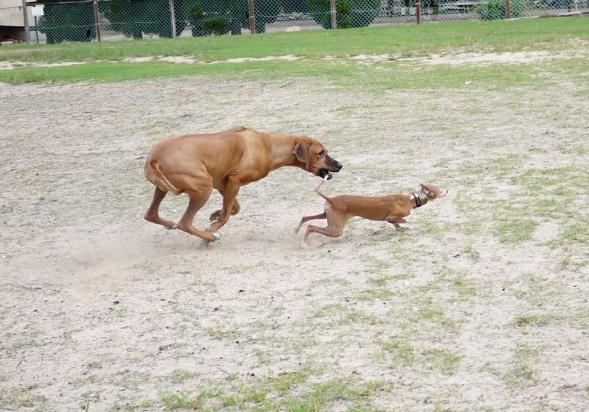 この時に、うっかりシャロリーの前足がディオにぶつかると、ディオっちは3回転位転がります・・。ので、ディオっち必死!