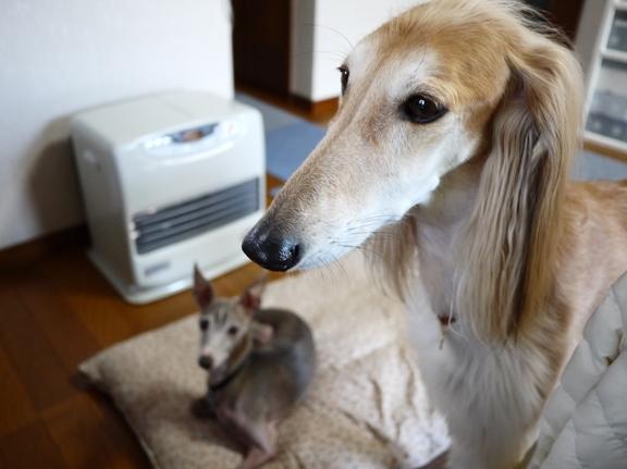 「なんで居るの?」って感じの麗ちゃん。犬友達が家に来るの、初めてなんだって♪