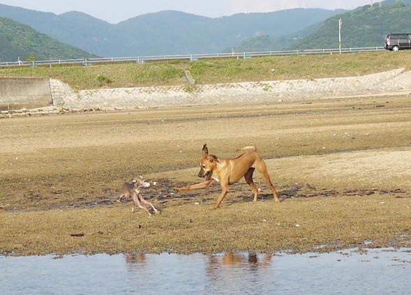 走り回るトトを見ていたら、シャロリーの狩猟欲に火がついたらしい