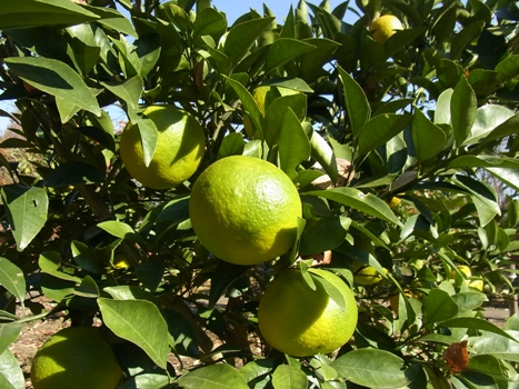 「柑橘類 ~大小様々な果実(1)」