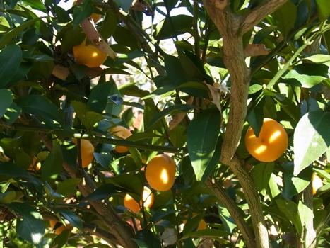 「柑橘類 ~大小様々な果実(2)」