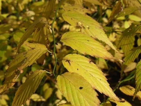 「ヤマブキ ~黄葉と緑の枝」