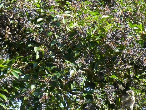「ネズミモチ ~熟す前の青紫の果実」