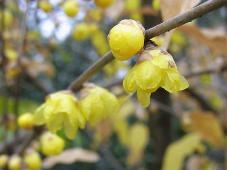 「濃い黄色のマンゲツロウバイ」