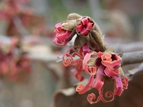 「マンサク~ピンクに近い赤系の花」
