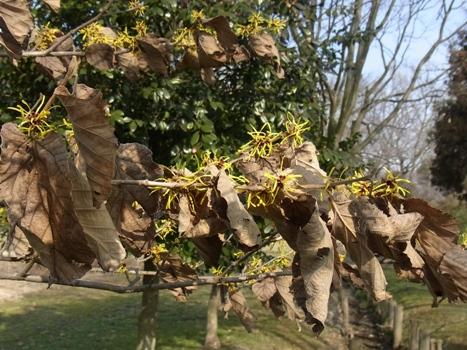 「シナマンサク~黄金色の花、葉の有無」