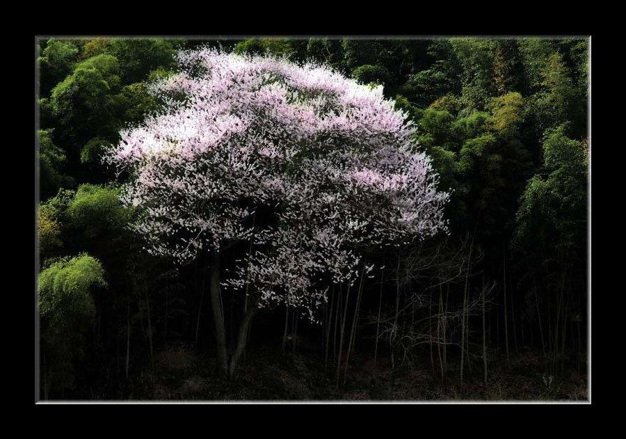 いっぽん桜