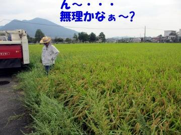 稲刈り断念3