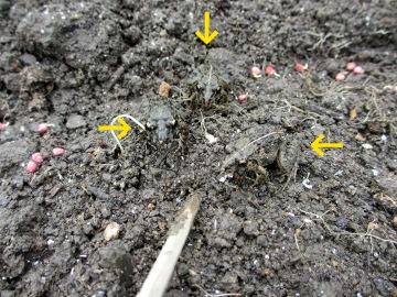 ホウレン草芽が伸びて3
