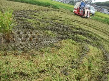 稲刈り強行6