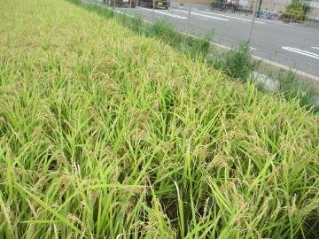 稲刈り割付2