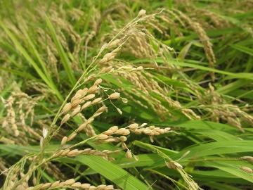 稲刈り割付3