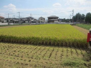 最後の稲刈り2