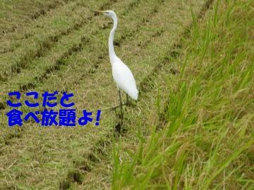 最後の稲刈り5