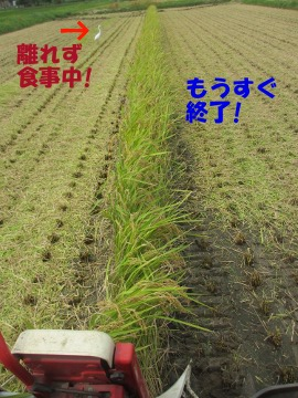 最後の稲刈り6