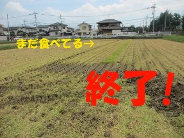 最後の稲刈り7