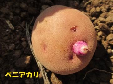 秋ジャガ植え6