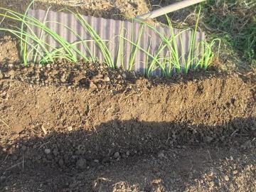 ねぎ類植え2