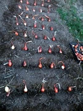 ねぎ類植え7