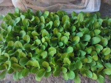 ミニ白菜2
