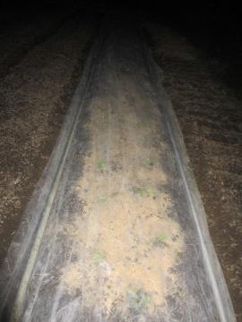 ミニ白菜植え2