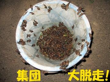 ミニ白菜植え7