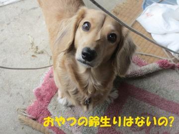 ハヤトウリ鈴生り5