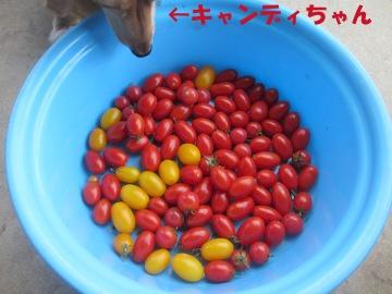 ミニトマト最終?2