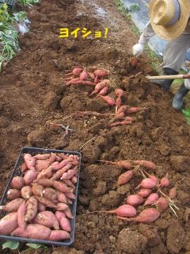 芋掘りは続く5