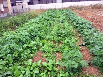 初収穫も5