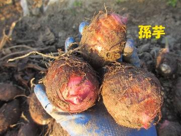 芋収穫11