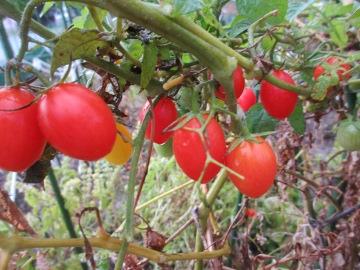 雨の中野菜採り3