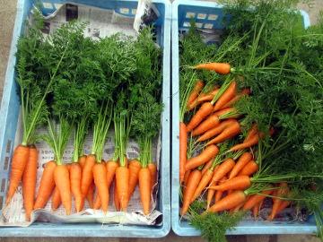 雨の中野菜採り5