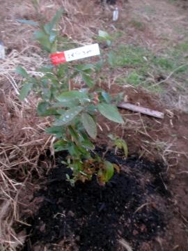 ブルーベリーの植えかえ4