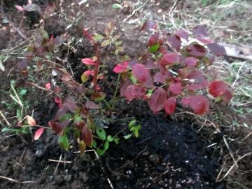 ブルーベリーの植えかえ5