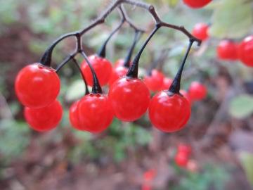 庭の赤い実2