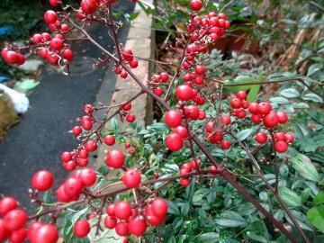 庭の赤い実3