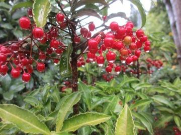 庭の赤い実4
