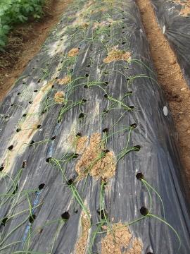 玉ねぎ、にんにく植え3