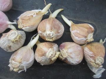 玉ねぎ、にんにく植え4