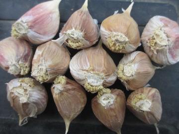 玉ねぎ、にんにく植え5