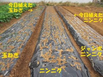 玉ねぎ、にんにく植え7