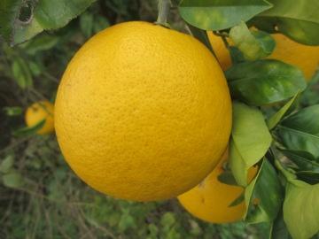 金柑子?2
