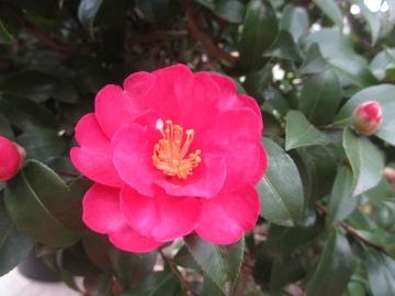 山茶花冬の花