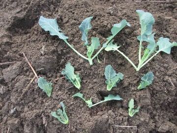 ブロッコリーの脇芽6