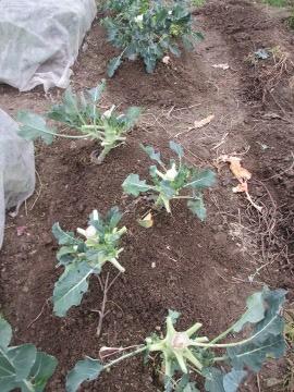 ブロッコリーの脇芽10