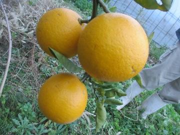 金柑子1個収穫